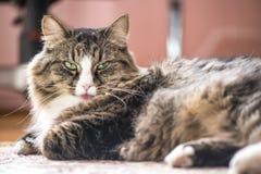 Кот показывает язык Стоковые Изображения
