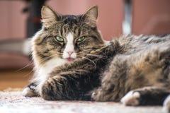 Кот показывает язык Стоковое Изображение