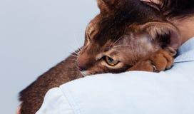 Кот породы абиссинца на плече стоковое фото rf