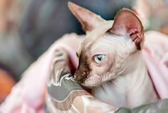 Кот породы сфинкс в крупном плане корзины Стоковые Фото