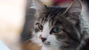 Кот Портрет красивого серого конца кота вверх Кот с зелеными eays, поднимающим вверх стороны близкое Портрет отечественного кота  видеоматериал