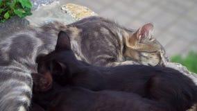 Кот подает котятам грудь акции видеоматериалы