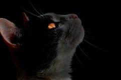 кот предпосылки черный Стоковая Фотография