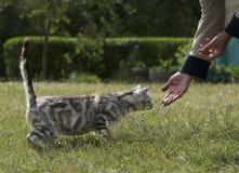 Кот принимая еду от рук старухи, кот есть от рук Стоковые Изображения