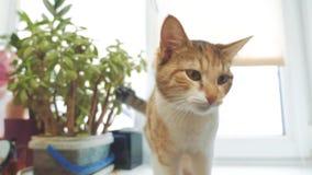Кот пробует получить с meows силла окна видео замедленного движения tricolor концепция образа жизни любимца кота сток-видео