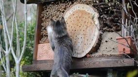 Кот пробуя уловить одичалых пчел на укрытии насекомого сток-видео