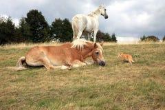Кот проползает до лошадей Стоковое Изображение RF