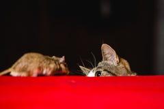 Кот против мыши песчанки на красной таблице Стоковые Фотографии RF