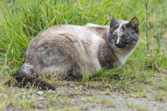 Кот пункта цвета Tortie лежит вниз и поворачивающ свою голову Стоковые Изображения