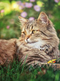 кот пушистый Стоковое Изображение