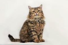 кот пушистый Стоковые Изображения