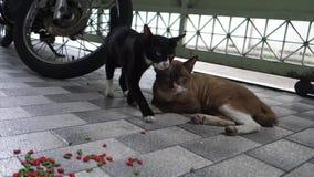 Кот рассеянной молодой матери черный и большой кот Брайна отца сидят и спят на поле Объятие кота любовника совместно сток-видео