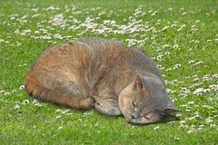 Кот родословной уснувший в луге маргаритки стоковое фото