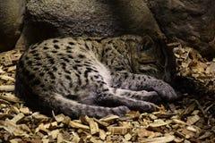 Кот рыбной ловли спать Стоковое Изображение