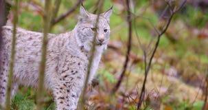 Кот рыся детенышей и playfull стоя в лесе сток-видео