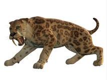 Кот Сабл-зуба сердитый Стоковые Фотографии RF