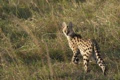 Кот сервала Стоковое фото RF
