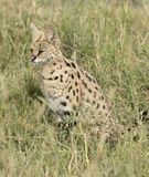 Кот сервала Стоковое Фото