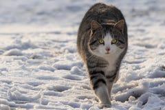 Кот серого цвета и белых с нашивками идя на снег стоковые изображения rf