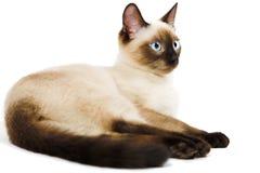 кот сиамский стоковые фотографии rf