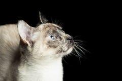 кот сиамский Стоковое Изображение