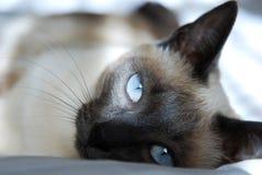 кот сиамский стоковые изображения rf