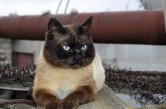 Кот сиамского бой сильный стоковые изображения rf