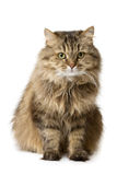 кот сидит вахты Стоковые Изображения