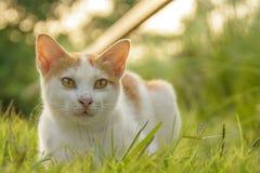 Кот сидит пешком путь и зеленая трава когда заход солнца и солнечный свет Стоковое Изображение