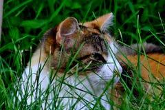 Кот ситца наблюдая от высокорослых gress стоковые изображения