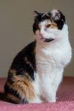 кот ситца Стоковая Фотография RF