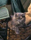 Кот ситца Стоковые Изображения RF