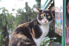 Кот ситца Стоковое Изображение