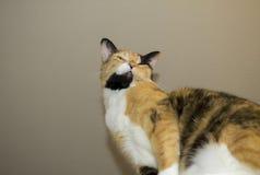 Кот ситца Стоковое фото RF