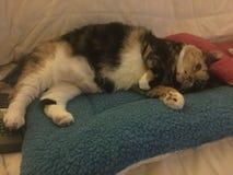 Кот ситца, tricolor, принимает ворсину Стоковые Фотографии RF