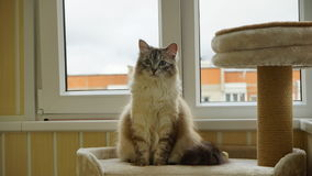 Кот сидя на полке кота на балконе angoras Стоковое Фото