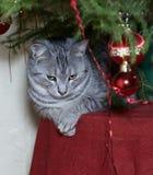 Кот сидя под рождественской елкой в естественной предпосылке Стоковые Фотографии RF