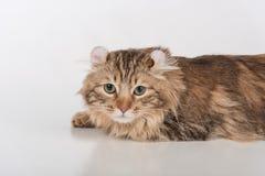Кот скручиваемости темных волос американский лежа на белой таблице Белая предпосылка Портрет стоковое изображение rf