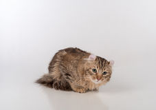 Кот скручиваемости темных волос американский лежа на белой таблице Белая предпосылка стоковая фотография rf