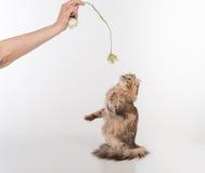 Кот скручиваемости темных волос американский стоя на 2 ногах на белой таблице Белая предпосылка Играть с розовым цветком стоковая фотография rf