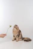 Кот скручиваемости темных волос американский стоя на 2 ногах на белой таблице Белая предпосылка Смотреть вверх и играть с подняли стоковые фото