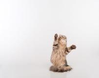 Кот скручиваемости темных волос американский стоя на 2 ногах на белой таблице Белая предпосылка красивейший смотреть outdoors вве стоковая фотография