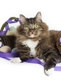 Кот смешивания енота Мейна с корзиной пасхи Стоковое Изображение RF