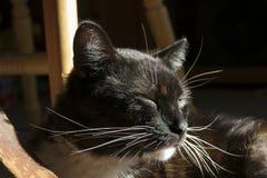 Кот смокинга крытый в солнечном пятне стоковое фото rf