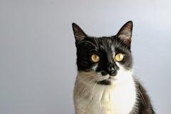Кот смокинга Стоковые Фотографии RF