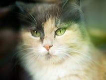 Кот смотрит камеру с цвета 3 шерстью с зелеными глазами Очень милый и нежный любимчик концепция  Стоковое Изображение RF