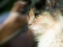Кот смотрит камеру с цвета 3 шерстью с зелеными глазами Очень милый и нежный любимчик концепция  Стоковая Фотография