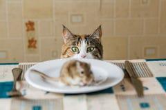 Кот смотря к маленькой мыши песчанки на таблице перед нападением Концепция добычи, еды, бича Стоковые Фотографии RF