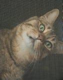 Кот смотря через экран окна стоковые изображения rf