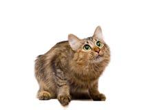 кот смотря redheaded поднимающее вверх Стоковые Фото